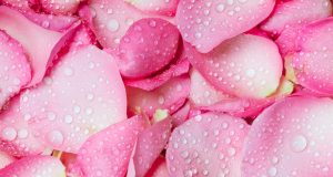 Rose Water / the fresh pink rose petal background with water drop